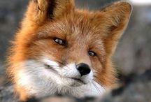 Wren's Spirit / My character, Wren, in her spirit/animal form, red fox || https://www.fanfiction.net/u/4633889/ || https://jukepop.com/home/read/8934?chapter=6