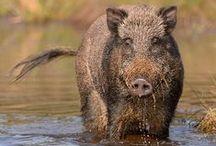 Boars , Sangliers, Wildschwein, кабан