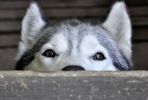 Siberian Huskies / by Carole Harper