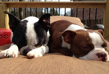 Boston Terrier / Boston Terriers