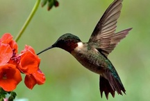 Attracting Hummingbirds / Promoting the nectar rich flowers and supplements that attract hummingbirds
