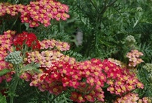 Perennial Flowers / Once established, perennial flowers continue to please year after year with wonderful color, blossoms and foliage. Most perennial plants are fairly low maintenance; however, keep in mind that they should be suited for your hardiness zone.