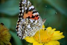 Butterfly Attracting Plants / Learn how to attract butterflies to your garden by offering them the plants they prefer.