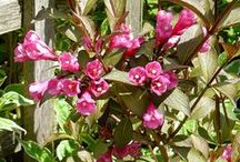 Shrubs and Bushes / Shrubs and bushes for landscaping. These colorful plants will add focal points to your landscape.