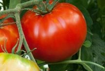 Growing Tomatoes / Tips to successfully grow tomato plants