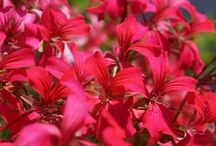 Flowers (Red) / All about red flowering plants
