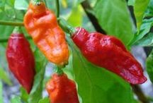 How To Grow Peppers / Thinking about growing pepper plants in your garden? We have compiled some excellent pins all about peppers to get you properly started.