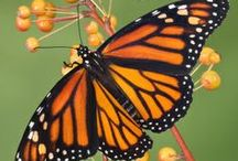 Ways to Save the Monarch Butterfly