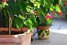 Overwintering Annuals Indoors / Tips for overwintering annual flowering plants indoors.