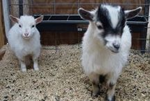 Why Goats? / Should you get a goat? This board will help you make an informative decision.