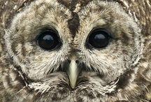 Simply Owls