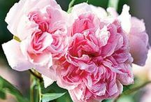 Roses I want to grow