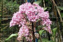 Epidendrum/Barkeria/Pilophylum/Acineta/Encyclia/Derstedella/Psilochilus/    Pediochilus/Epiblastus / Todos os tipos de Epidendrum/Barkeria/Pilophylum/Acineta/Encyclia/Derstedella/Psilochilus/Pediochilus/Epiblastus/Zootrophion Epidendrum denticulatum, é uma espécie de orquídea, muito comum no Brasil, que faz parte de um grupo de espécies de pertencentes ao gênero Epidendrum, todas muito parecidas, distintas apenas por pequenos detalhes, as quais de modo geral são consideradas sinônimos do E. secundum Jacquin.  / by Clelia Costa
