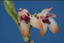 Lepanthes/Holcoglossum/Oerstedella Orquideas / Lepanthes (em português: Lepantes) é um género botânico pertencente à família das orquídeas (Orchidaceæ)      / by Clelia Costa