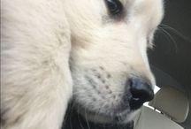 Hugo puppy ❤️ / cream golden retriever puppy