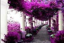Purple Wonder's