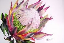 Flowers - Proteas