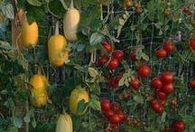Gardening / Growing veggies