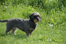 Dackeln / Dackeln, Dachshunde, Doxies, Wiener Dogs