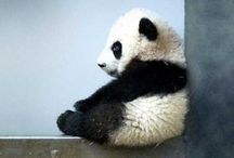 Pandas / dude!! I love pandas!! almost as much as I love dragons. almost ...