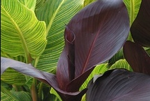 CaNNa~CaLadiuM~iRiS~eLePhaNt EaRs / by Christie Chambers