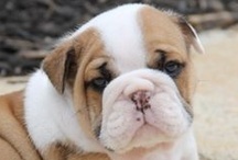 Bulldogs / We love Bulldogs of all types...