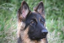 Dog Breeds  / Dog Breed Pictures and Videos