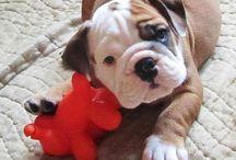 New puppy...British Bulldog...I want xx