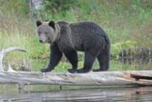 Wildlife in Finland / Wildlife and bird watching travel packages and tours in Finland  handpicked by Skafur-Tour, your local online travel agency. See Arctic wildlife in their natural habitat.  #wildlife #wiildlifewatching