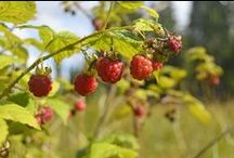 Culinary Travel in Finland / Travel tips for people interested in local culinary culture  handpicked by Skafur-Tour, your local online travel agency.. Wild food and local pure ingredients are the core of the Finnish kitchen. #wildfood #culinaryculture