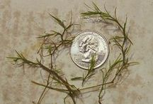 Aquatic Weeds & Algae Managed in Lakes & Ponds / Photos of common aquatic weeds and algae seen in Texas.