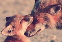   Fox  