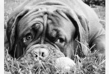 Big Dog (s) / dog stuff / pictures/ my dogs/ ..and more...  #Dogue de Bordeaux #frenchmastiff  #molossian #mastiff #dog #dogs