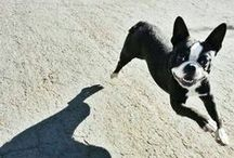 Boston Terrier / Someday I will have a Boston terrier..
