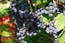 Avant les vendanges 2014 / Evolution du raisin avant les vendanges