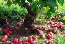 Top Apple Picking Orchards in NYC Metro Area / Fall is almost here and the apples are ready to pick! Check out our collection of the top pick-your-own orchards in the New York Metropolitan Area!