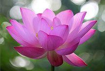 Лотос, водная лилия / Lotus