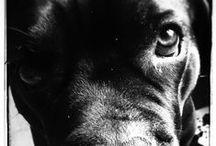 ~` Cane Corso / Middelgrote tot grote hond. Robuust, stoer en krachtig doch elegant gebouwd. Droge en krachtige bespieren.Belangrijke verhoudingen  De lengte van het hoofd bereikt 36% van de schofthoogte. De bouw van de hond is iets langer dan hoog. Gedrag en karakter:Als bewaker van eigendommen, familie en het vee heel levendig en snel reagerend. Werden in het verleden gebruikt bij het hoeden van vee en bij de jacht op groot wild.