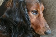 Dachshund Oslo Norway / Dachs, longhaired, black and tan