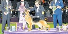WESTMINSTER / All the action from Westminster Kennel Club Dog Show