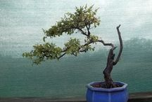Bonsai / Bonsai, Penjing and more / by William