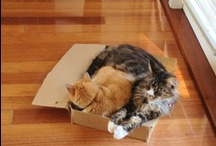 CAT IN A BOX / All cat owners know cats love a box. Dr Jo, animal behaviourist, wants to celebrate our cats' love of a box.