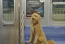 Dogs on Subways & Trains