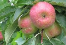 Fruit | Apples / All there is to know about apples.