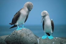 Blue Footed Booby & Puffin