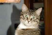 Cat ...   =^.^=  CENERENTOLA / micia tigrata marrone