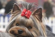 Yorkshire terrier / I  Yorki