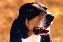 Berner Laufhunde / Meine vier Berner Laufhunde Tamina, Cato, Soleil, Sara