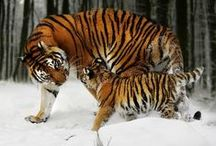 Тигр ДК