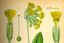 Floral & Botanical Pictures, old